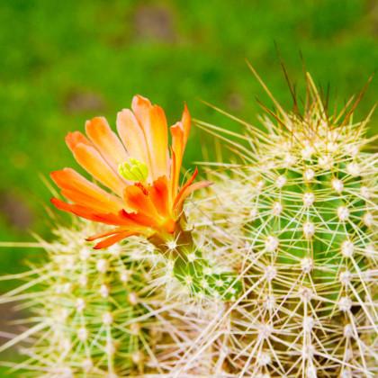 Kaktus Echinocereus mix - prodej semen - 4 ks