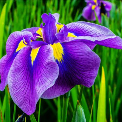 Kosatec japonský- Iris ensata- semena- 5 ks