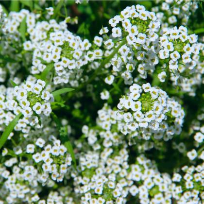 Tařicovka Snow Crystal - Lobularia maritima - osivo tařicovky - 200 ks