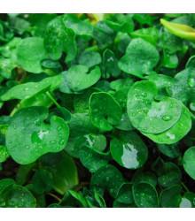 Stříbrný déšť - Dichondra microntha - prodej semen - 8 Ks