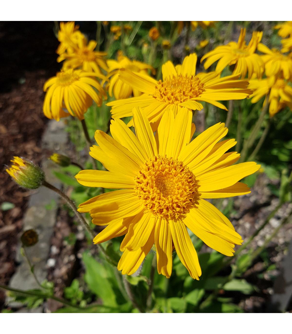 Arnika horská - Prcha chlumní - Arnica montana - prodej semen léčivek - 13 ks
