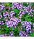 Tymián obecný - Thymus vulgaris- semena tymiánu - 0,08 g