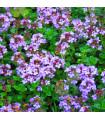 Tymián obecný- Thymus vulgaris- semena tymiánu- 240 ks