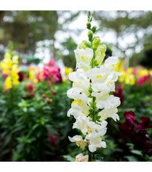 Šalvěj zářivá mix barev - Salvia splendens - semena šalvěje - 15 ks