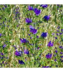 Hadinec jitrocelovitý - Echium plantagineum - prodej semen - 0,5 gr