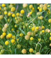 Jahodová tráva - Záplevák vonný - Cephalophora aromatica - prodej semen letniček - 10 Ks