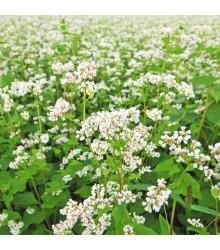 Pohanka setá - Polygonum fagopyrum - semena pohanky - 20 ks