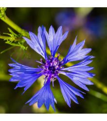 Chrpa modrá - Centaurea cyanus - osivo chrpy - 30 ks