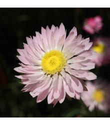 Časovka suchomážditá - prodej semen časovky - rostlina Rhodanthe manglesii - 100 ks