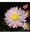 Časovka suchmázdřitá - prodej semen časovky - rostlina Rhodanthe manglesii - 100 ks