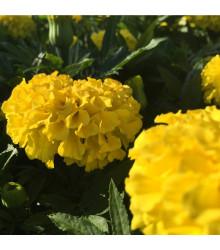 More about Aksamitník nízký Gold - Tagetes patula - osivo aksamitníku - 100 ks