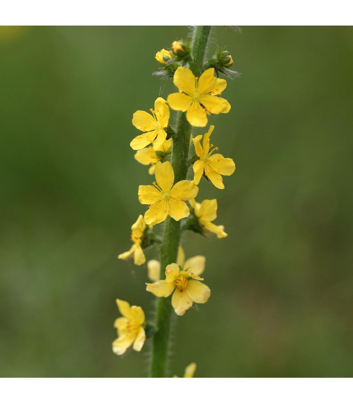 Řepík lékařský - Agrimonia eupatoria - semena řepíku - 20 ks