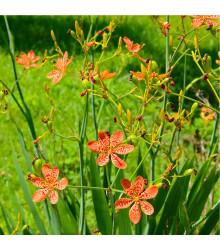 Angínovník čínský - Iris domestica - semena Angínovníku - 5 ks