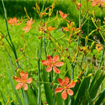 Angínovník čínský- Belamcanda chinensis- semena Angínovníku- 5 ks