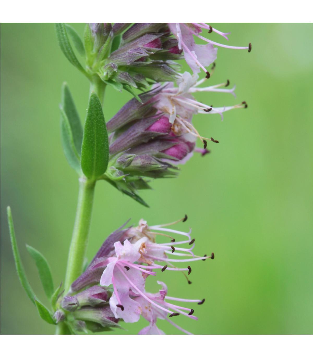 Yzop lékařský růžový - Hyssopus officinalis - semena yzopu - 0,1 gr