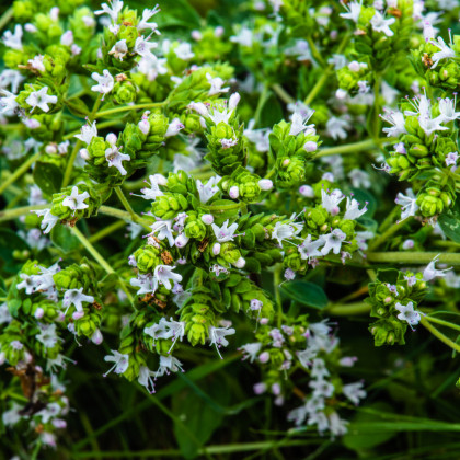 Řecké oregano - Origanum hirtum - prodej semen oregana - 0,03 gr