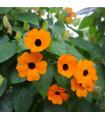 Černooká Zuzana- pnoucí- Thunbergia alata- semena- 12 ks
