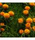 Aksamitník vzpřímený obrovský Sunset - Tagetes erecta - osivo aksamitníku - 100 ks