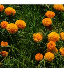 Aksamitník vzpřímený obrovský - Sunset - Tagetes erecta - semena Aksamitníku - 100 ks