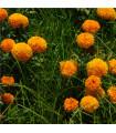 Aksamitník vzpřímený obrovský - Sunset - Tagetes erecta - semena Aksamitníku - 0,3 g