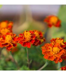 Aksamitník rozkladitý Orange flame - Tagetes patula nana - semena aksamitníku - 100 ks