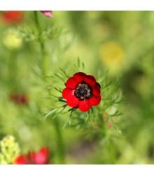 Hlaváček - Adonis aestivalis - semena Hlaváčku - 0,8 gr