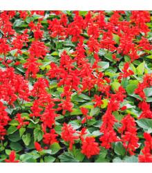 Šalvěj zářivá Johannisfeuer - Salvia splendens - semena šalvěje - 15 ks