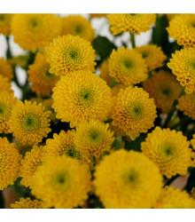 Aksamitník vzpřímený nízký Cupido žlutý - Tagetes erecta nana - semena Aksamitníku - 100 ks