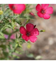 More about Len červený velkokvětý - Linum grandiflorum - semena lnu - 140 ks