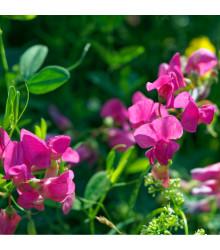 Hrachor vonný růžový - Lathyrus odoratus - osivo hrachoru - 20 ks