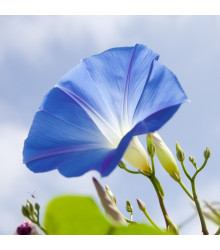 Povíjnice trojbarevná Blue Star- letnička Ipomoea tricolor - 25 ks