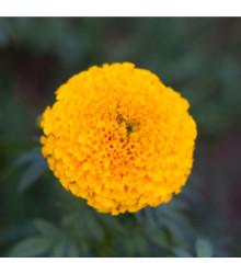 Aksamitník vzpřímený nízký Golden Age - Tagetes erecta nana - semena Aksamitníku - 100 ks