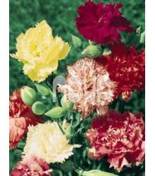 More about Hvozdík Karafiát - Mix barev - Dianthus caryophyllus - semena Hvozdíku - 130 ks
