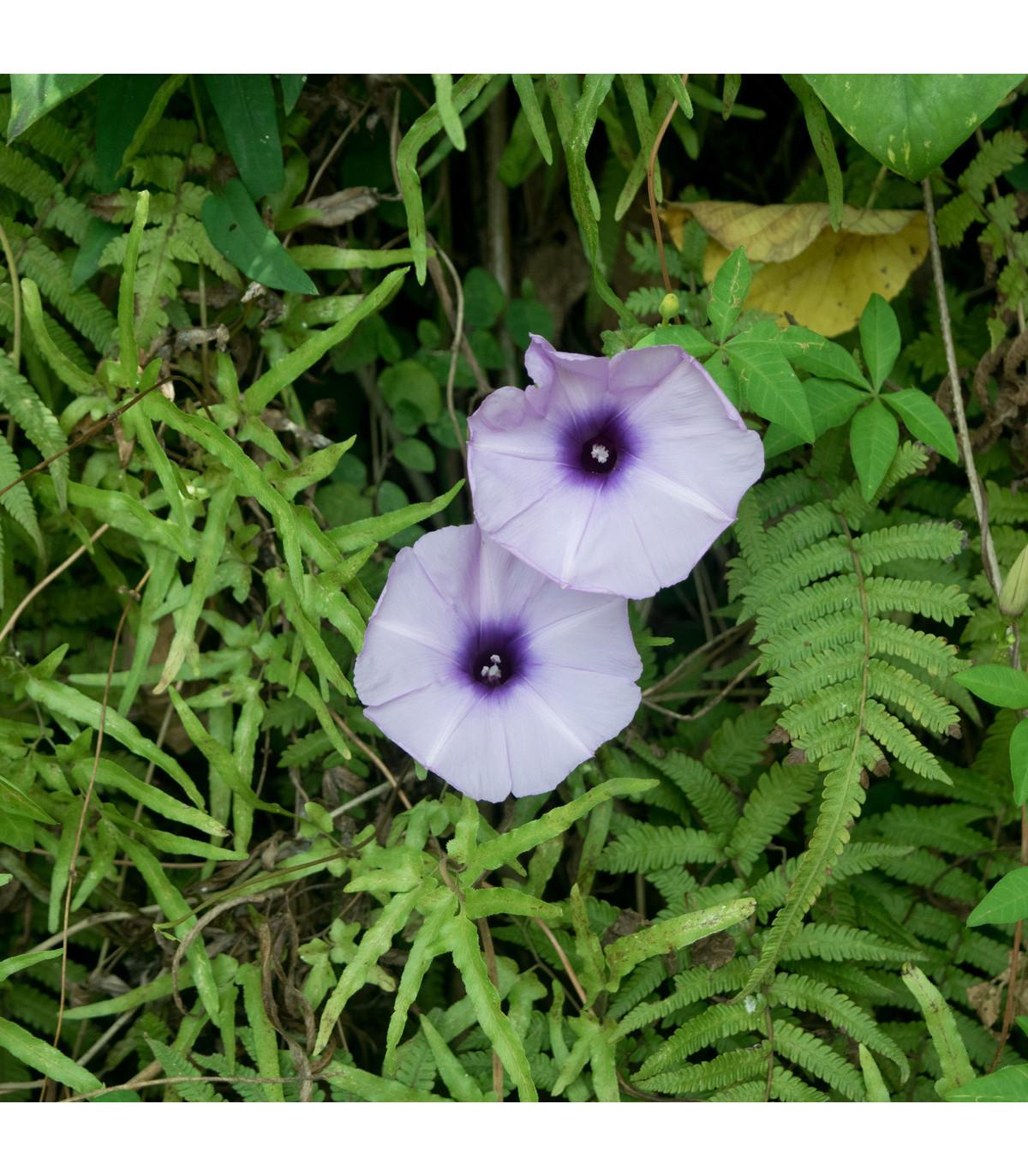 Povíjnice nachová - letnička Ipomoea purpurea - 25 ks