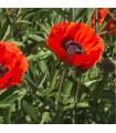 Mák východní Scharlach - Papaver orientale - semena máku koupit - 0,2 gr