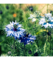 Černucha damašská modrá - Nigella Damascena - osivo černuchy - 200 ks