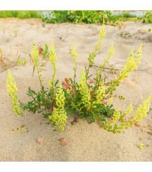 Rezeda žlutá - Rýt žlutý - reseda lutea - semena rezedy - 50 Ks