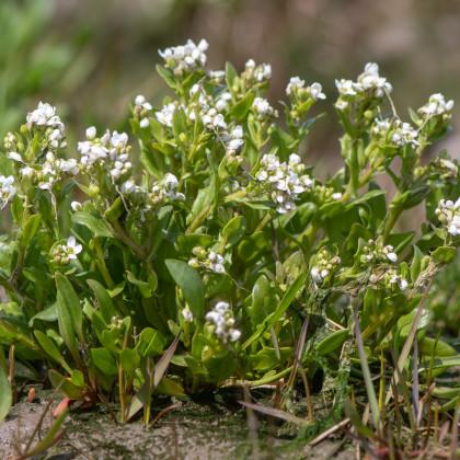 Lžičník lékařský - rostlina Cochleria officinalis - prodej semen lžičníku - 20 ks