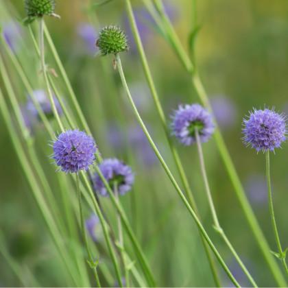 Čertkus luční - Succisa pratensis - prodej semen 20 ks