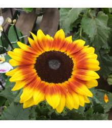 Slunečnice roční Helios - Helianthus annuus- semena Slunečnice - 7 ks