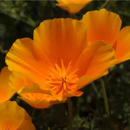 Sluncovka kalifornská oranžová - Eschscholzia californica - osivo sluncovky - 450 ks