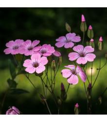 Silenka směs barev- Silene coeli - prodej semen letničky - 150 ks