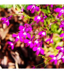 Lobelka převislá Color Cascade - Lobelia erinus pendula - semena Lobelky - 0,1 gr