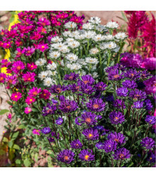 Astra čínská Serenade směs barev - Callistephus chinensis - osivo astry - 110 ks