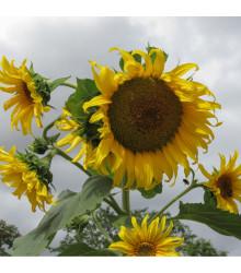 Slunečnice žlutá obří - Helianthus annuus - prodej semínek - 8 Ks