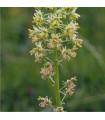 Rezeda vonná - reseda odorata - semena rezedy - 450 ks