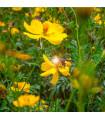 Krásenka žlutá Sunset - Cosmos sulphureus - semena Krásenky - 40 ks
