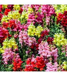 Hledík největší směs barev- letnička Antirrhinum maximum - prodej semen letniček - 0,2 gr