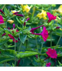 Nocenka jalapovitá směs barev - Mirabilis jalapa - osivo nocenky - 6 ks