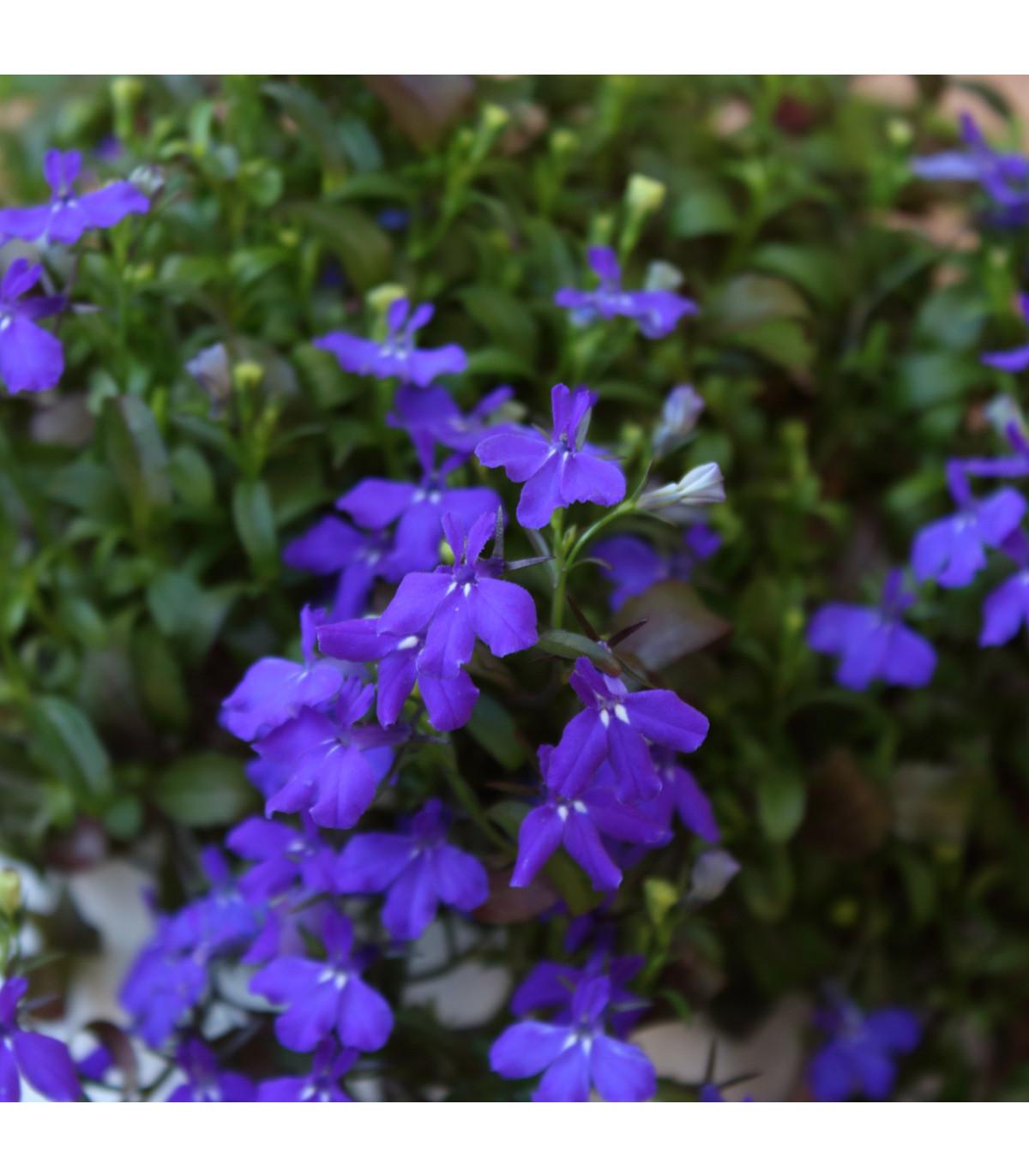 Lobelka drobná Kaiser - Lobelia erinus compacta - osivo lobelky - 0,1 g